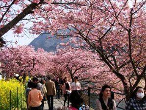 河津桜.jpg