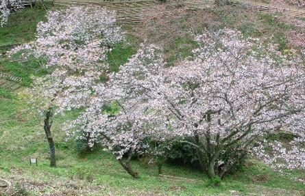 今日の桜.jpg
